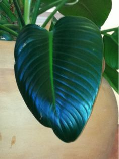 One if the plants at the hotel we're staying at.shaped like a heart. Photo A Day, At The Hotel, Plant Leaves, Heart, Plants, Plant, Hearts, Planets
