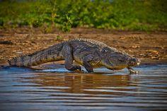 Africa | Nile crocodiles in Lake Chamo, Arba Minch, Ethiopia | © Ronny Reportage