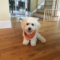 Havanese haircut