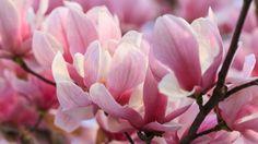 How to grow magnolias