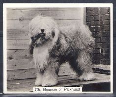 OLD ENGLISH SHEEPDOG Bobtail-1938