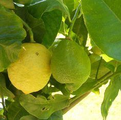 Citronnier 4 saisons - Citrus lemon - Citronier persistant - Citron jaune