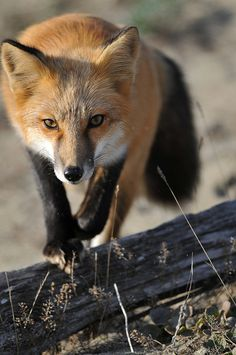 Red Fox.   They're beautiful.