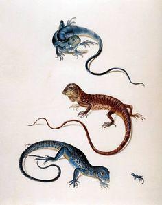 Tropidurus by Maria Sibylla Merian.  Source