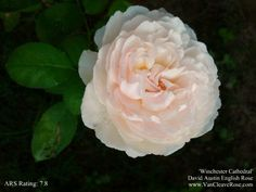 First Bloom – Winchester Cathedral | The Redneck Rosarian