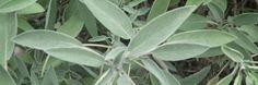 Salie is één van de gezondste planten op de planeet.De Latijnse naam voor salie, Salvia officinalis, komt van het Latijnse woord salvare, wat betekent 'redden' of 'genezen'.Ten tijd
