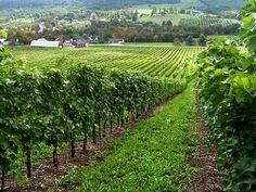 Wine Central of the Annapolis Gaspereau Valley, Nova Scotia.