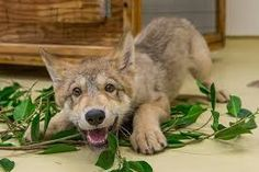 A playful two-month-old grey wolf pup is spending time in the Children's Zoo nursery at the San Diego Zoo. The pup, named Shadow, is in the process . Animals And Pets, Baby Animals, Cute Animals, Cane Corso, Sphynx, Chinchilla, Rottweiler, Pitbull, Animal Pictures