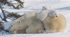 polar bear cubs | Mother and cub polar bears traveling towards Hudson Bay pass through a ...