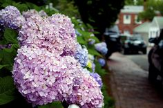 """Hoping my hydrangeas """"took"""" and come back this summer.  My goal is to have them look like this!"""