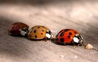 ladybugs   - Explore the World with Travel Nerd Nici, one Country at a Time. http://TravelNerdNici.com