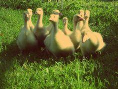 Per un millennio hanno scritto con la penna d'oca: le #oche hanno diffuso la cultura. For years people have written with quill feather: geese have supported culture.  Valeriu Butulescu