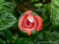 close-up-view-rain-drops-barleria-repens-flower-rain-storm