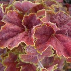Coral Bells. Miracle (Heuchera). Alumroot. The foliage on this plant is gorgeous.
