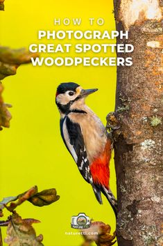 In this bird photography tutorial learn how to photograph one of the UK's most colourful species, the great-spotted woodpecker. Wildlife Photography Tips, Photography Basics, Photography Tips For Beginners, Underwater Photography, Photography Tutorials, Spotted Woodpecker, Fast Shutter Speed, Woodpeckers, Take Better Photos