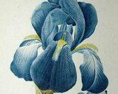 Iris Plicata - Cross stitch pattern pdf format