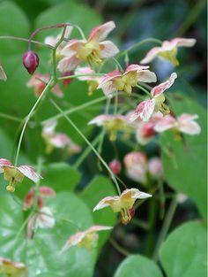 Epimedium pinnatum 'Colchicum'