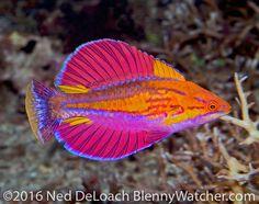 Paracheilinus alfiani - Flasher Wrasse fish