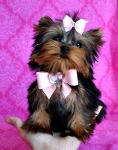 8500 dollar Micro Teacup Yorkie Puppy. Wowzers!