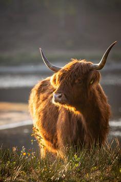Herfstwandeling maken in natuurgebied Boswachterij Dorst in Brabant. Op zoek naar Schotse Hooglanders om te fotograferen! #brabant #natuurfotografie #fotografie #schotsehooglanders #herfstfotografie Highland Cow Art, Scottish Highland Cow, Highland Cattle, Cute Baby Cow, Baby Cows, Cute Cows, Cow Pictures, Baby Animals Pictures, Farm Animals