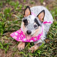 Australian Cattle Dog | Blue Heeler