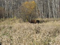 Peeking bison at Sturgeon River Ranch in Saskatchewan Festivals In July, Bison, Forests, Easy Drawings, Cousins, Wilderness, Ranch, Tourism, Trees