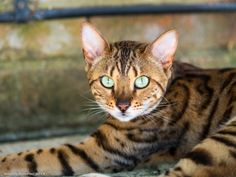 Bengal cats have no problem showing off their wild side.