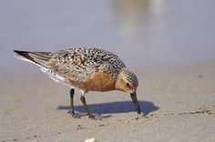 As International Migratory Bird Day approaches, the #photooftheweek features this wonderful image by @stevewinterphoto of a red knot eating horseshoe crab eggs. During a stopover in the eastern United States during #migration, they feast on horseshoe crab eggs that are becoming scarcer each year. In fact, these incredible birds are considered climate #endangered as the #ecosystems they rely on disappear with rising global temperatures and sea level. #horseshoecrab #birds #conservation…