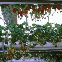 Specifications of strawberries and hydroponics
