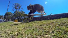 Didga the skateboarding cat from shows off his skills at a local skate park.