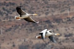 a450 20121229 Napahai Shangri-La Birding\01 Birds\005^ Bar-headed Goose 斑头雁 ห่านหัวลาย