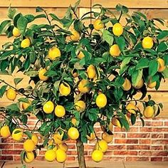 How To Grow A Dwarf Lemon Tree Indoors.. Say What? Love me some lemon water!! Link also has strawberry trees, lime trees.. all for very cheap!!