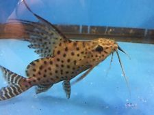 Pin On Synodontis Catfish