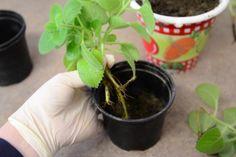 Jak pěstovat a množit rýmovník – Príma receptář.cz Sunroom, Plants, Sunrooms, Winter Garden, Solarium Room, Plant, Planets