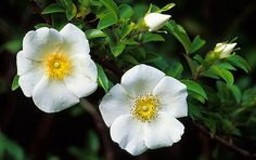 cherokee rose | Wild Cherokee Roses - Two Buds, Two Blooms | Flickr - Photo Sharing!