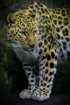 h4ilstorm:  Amur Leopard (by Phillip Burgess Photography)