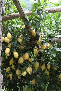 Local lemons in the #Amalfi coast with VBT. #Italy