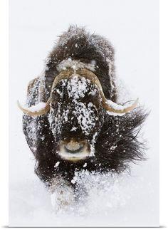 Musk Ox in snow, Alaska Wildlife Conservation Center, Southcentral Alaska, Winter