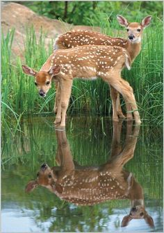 A Fawn Looking at its Mirrored Self.