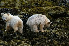 Spirit Bear cubs eating mussels at low tide.