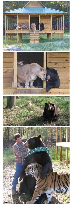 Baloo the bear, Leo the lion and Shere Khan the tiger have a unique friendship at the Noah's Ark Animal Sanctuary in Locust Grove, Georgia • photo: Barcroft Media http://www.noahs-ark.org/