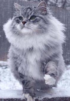Siberian cat, Astera Jabari