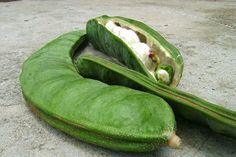 CUAHUXINICUILE O XONECUILLE (Pie torcido). Inga xalapensis. Nombre dado al Jinicuil, en clara alusión a las vainas de 15 a 20 cm que da; sus semillas, envueltas en una pulpa algodonosa, son de sabor dulce.