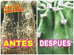 ELIMINAR PLAGAS EN LOS CACTUS SIN GASTAR DINERO 01 - ELIMINATE CACTUS PESTS - YouTube Mini Cactus, Cactus Y Suculentas, Most Beautiful Pictures, Outdoor Gardens, Nature, Plants, Youtube, Money, Tips