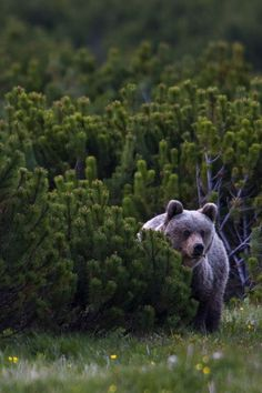 "everainsplanet: "" sutton15445: Wild Bear """