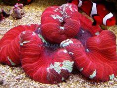 LPS Corals for your Saltwater Reef Aquarium - Aquatic Connection