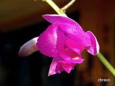 La foto del día: Si de orquídeas se trata...