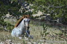 pryor wild horses | Pryor Mountain wild horses | Pam Nickoles Photography