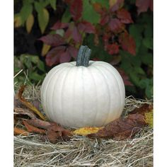 Moonshine  Pumpkin