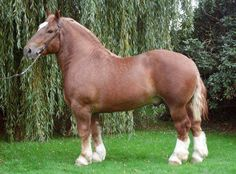 Breed of the day: Cheval Breton (Breton Horse) The Breton is a breed of draft horse. It was developed in Brittany, a province in northwest France, from native ancestral stock dating back thousands of years. The Breton was created through the crossbreeding of many different European and Oriental breeds. In 1909, a stud book was created, and in 1951 it was officially closed. The breed is often chestnut in color, and is strong and muscular.